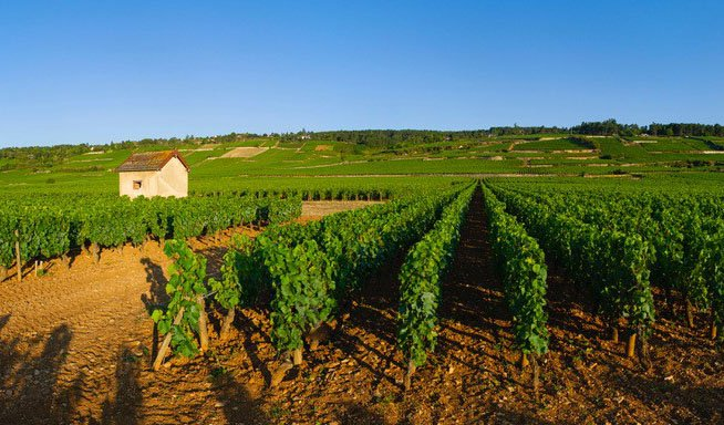 A wide shot of a leafy vineyard with a cottage in the left background and a blue sky